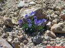 violeta-del-teide.jpg